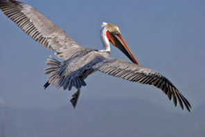 California-Brown-Pelican