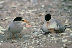 California-Least-Tern