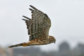 Northern-Harrier