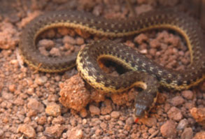 Two-striped-Garter-Snake