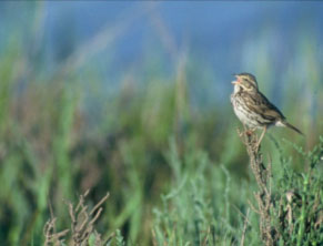 Belding's-Savannah-Sparrow