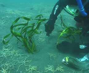 Bolsa Chica Basin I - Eelgrass planting_Richard Herman (photographer)