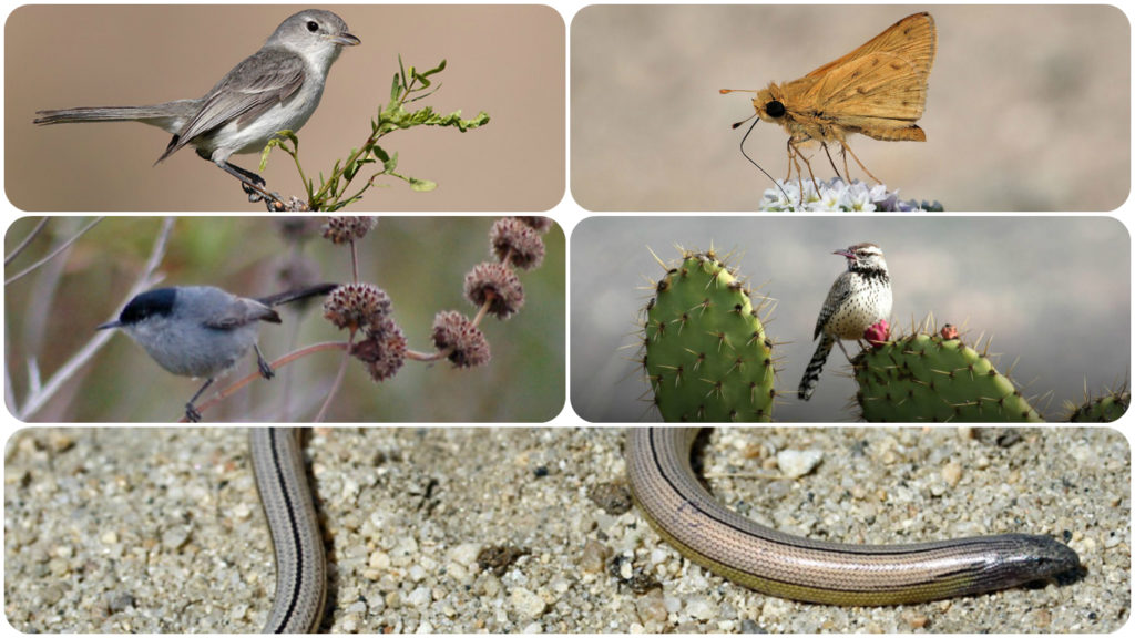 Targeted Species: Least Bells Vireo, Wandering Skipper Butterfly, Cactus Wren, and Southern California Legless Lizard