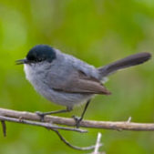 California-Coastal-Gnatcatcher