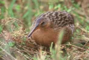light-footed-Clapper-Rail